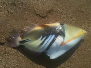 picasso triggerfish beach fishing Maui