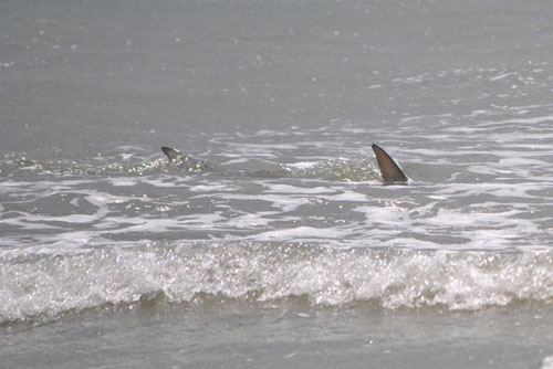 Hilton head shark attacks the largest shark for South carolina surf fishing