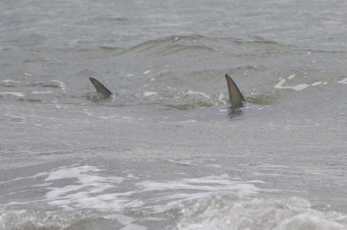 shark fishing on Hilton Head